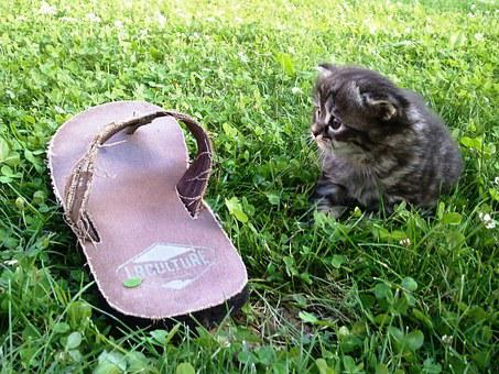 Shoe, Cat, German Longhaired Pointer, Pets, Playful
