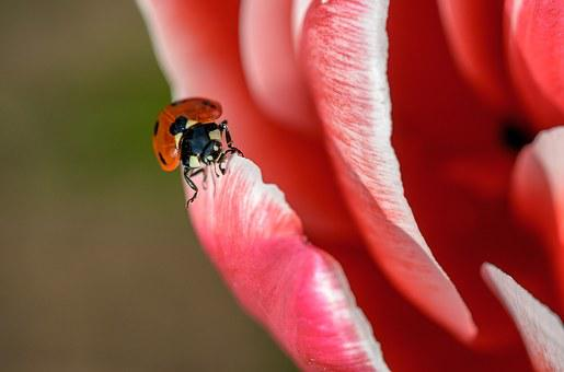 Ladybug, Insect, Red, Spring, Summer, Beetle, Bug