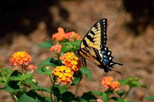 Tiger Swallowtail, Butterfly, Insect, Garden