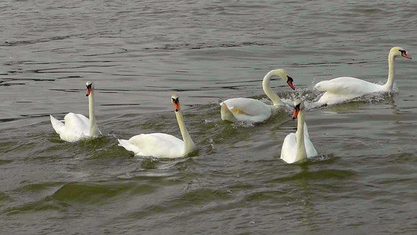 Swan Dance, Swans, Swan Ballet, Waterfowl, Water Bird