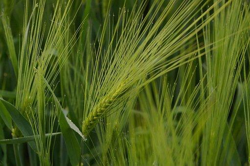 Wheat Field, Wheat, Cereals, Grain, Ear, Field, Nature