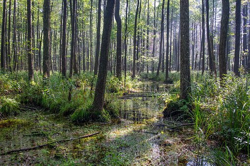Forest, Swamp, Trees, Wetland, Environment, Wood