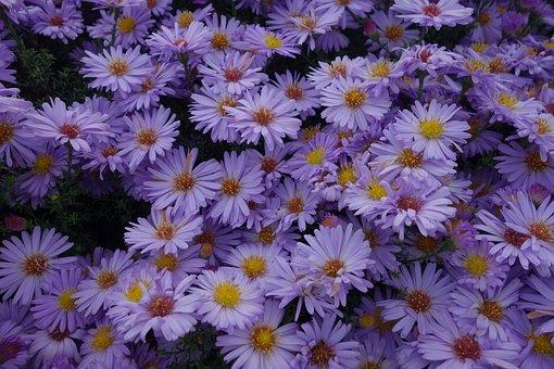 Asters, Purple, Plant, Violet, Nature, Blossom, Bloom
