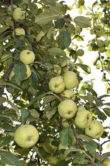 Apple Tree, Harvest, Fruit, Autumn