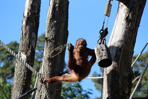 Monkey, Animal, Zoo, Primates, The Balance, Balance