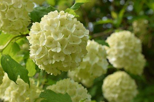 Snowball, Flowers, White, Nature, Plants, Fleuri, Ball