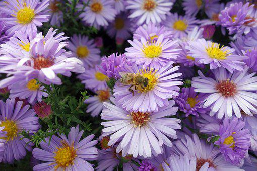 Aster, Bee, Purple, Plant, Violet, Nature, Blossom