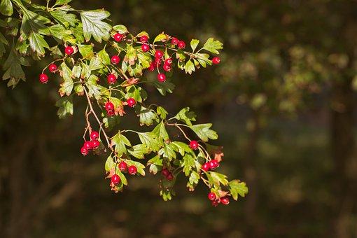 Red, Berries, Redcurrant, Autumn, Birds, Bush