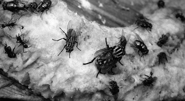 Black And White, Insects, Flies, Armenia