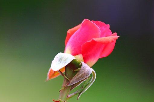 Plant, Garden Plant, Blossom, Bloom, Nature, Flower