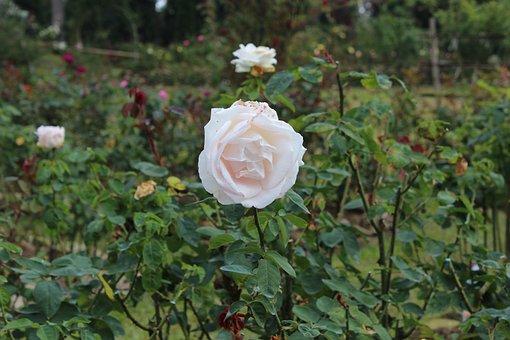 Rose, Garden, Bloom, Blossom, Roses, Nature, Plant