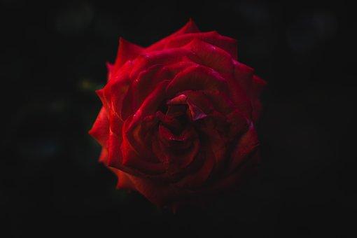 Flower, Blossom, Bloom, Background, Rose, Love, Red