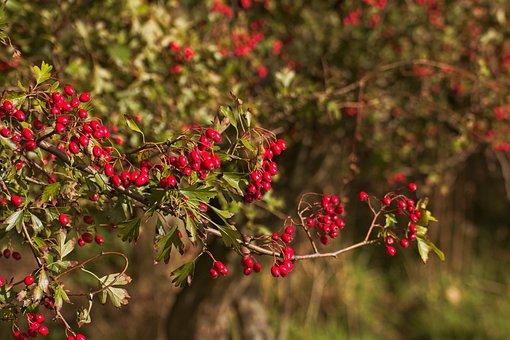 Berry, Berries, Redcurrant, Bush, Bosplantsoen, Nature