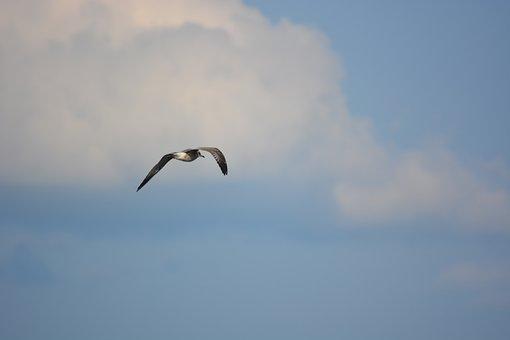 Sky, Clouds, Seagull, Bird, Flight, Nature