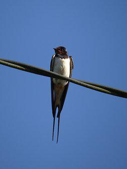 Swallow, Birds, Sparrows, Nature, Summer, Cute, Wings