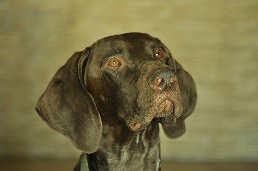 Portrait, Dog, Shorthaired Pointer, Focus, Attention