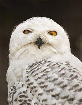 Snow Owl, Feather, Zoo, Wilderness, Bird Of Prey
