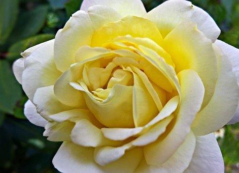 Flower, Rose, Floribunda, Ornamental Plant, Rosenstock