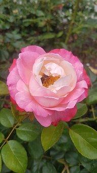 Flower, Rose, Blossom, Bloom, Flora
