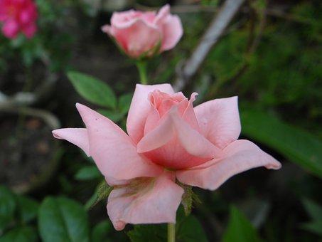 Pink, Rose, Closeup, Flower, Garden, Spring, Flora