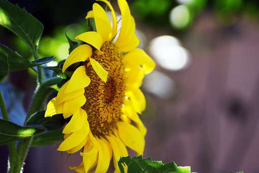 Sunflower, Plant, Garden, Yellow, Nature, Flower