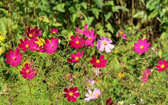 Cosmosy, Flowers, Pink, Flowering, Purple, Nature