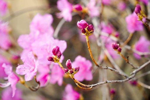 Azalea, Bud, Spring, Nature, Fresh, Plants, Company