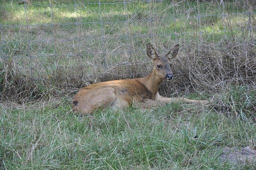 Biche, Animal, Forest, Grass, Nature, Wood, Deer