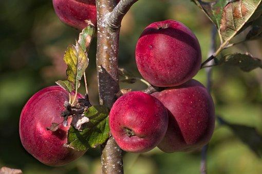 Apples, Apple Tree, Harvest, Tree, Branch, Fruit
