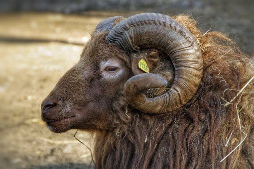 Sheep, Bock, Horns, Portrait, Animal, Fur, Farm