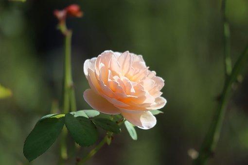 Natural, Flowers, Rose, Pink, Petal, Leaf