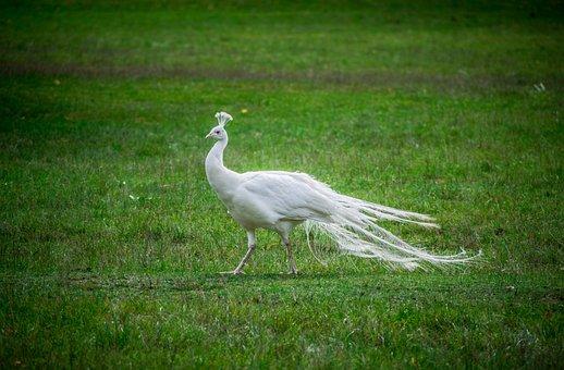 White, Peacock, Bird, Feather, Elegant