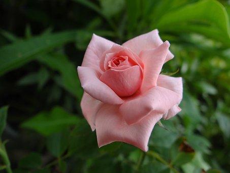 Pink, Rose, Flower, Nature, Love, Romantic, Romance