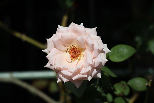 Natural, Flowers, Rose, Flowering, Pink