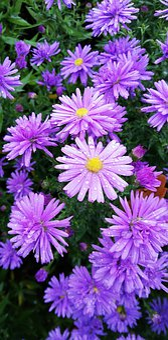 Flower, Purple, Nature, Spring, Violet, Summer, Garden