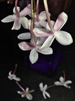 Jasmine, White Flower, White, Flower, Flowers, Nature