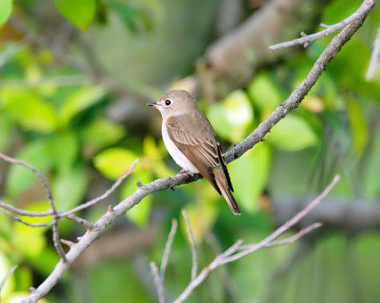 Asian Brown Flycatcher, Wild, Bird, Small, Wildlife