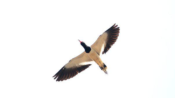 Kerala, India, Red Wattled Lapwing, Bird, Wildlife