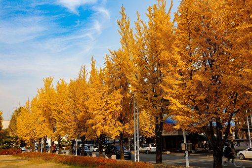 Autumn, Ginkgo, Autumn Leaves, Yellow, Calibration