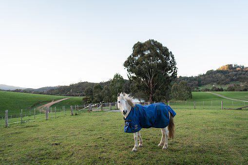 Horse, Pony, Australian Pony, Equestrian, Equine, Grey