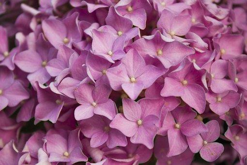 Flower, Pink, Spring, Hydrangeas, Nature, Bloom