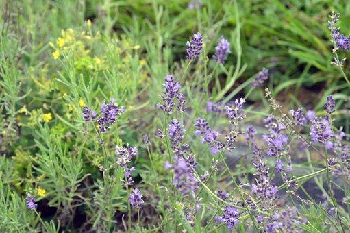 Lavender, Purple Flower, Violet, Bush