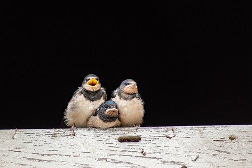Close Up, Swallows, Bird, Schwalbe, Bird Watching