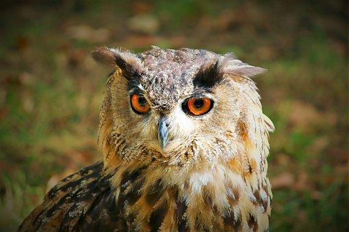 Eagle Owl, Bird Of Prey, Wild Bird, Close Up, Nature