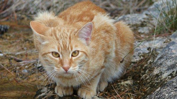 Cat, Feline, Animals, Wild, Eyes, Nature