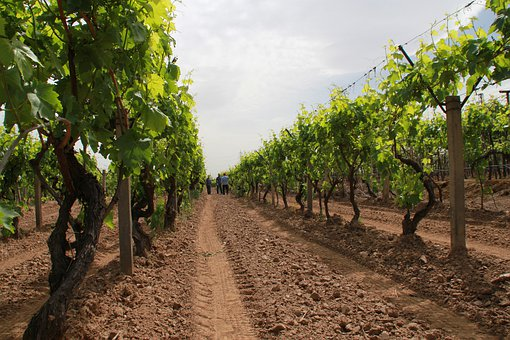 Bond, Vineyard, Nature, Raisin, Plant, Garden, Field