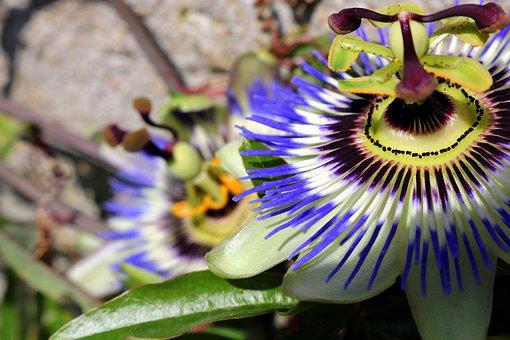 Passionflower, Flower, Nature, Passiflora, Garden
