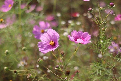 Cosmos, Flowers, Wallpaper, Nature, Plant, Blossom