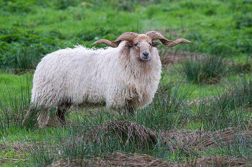 Racka Sheep, Animal, Nature, Sheep, Grass, Fryslân