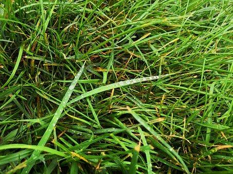 Grass, Dew, Nature, Green, Water, Lawn, Fresh, Drip